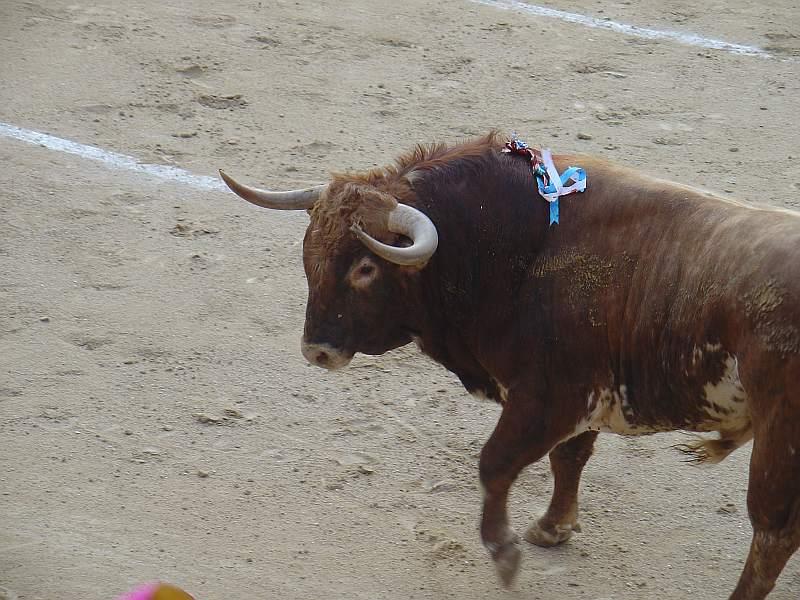Desvio, toro colorao bragao de 520 Kg. nacido en julio de 2005 en la ganaderia Nazario Ibañez Azorin de encaste Nuñez