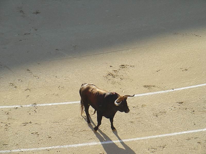 Toro castaño Lujurioso de la ganaderia Guadaira encaste Domecq | 516 Kg.