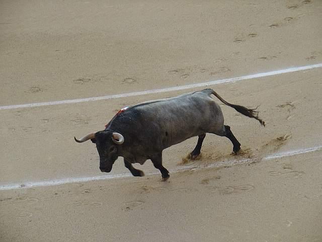 Milagroso, toro cardeno bragao corrido de 567 kilos nacido en enero de 2.005 en la ganaderia Jose Escolar encaste Albaserrada lidiao el 4º la tarde del 16 de mayo de 2.009 en las Ventas