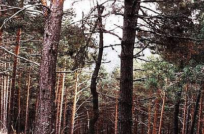 Pinus sylvestris, pino albar