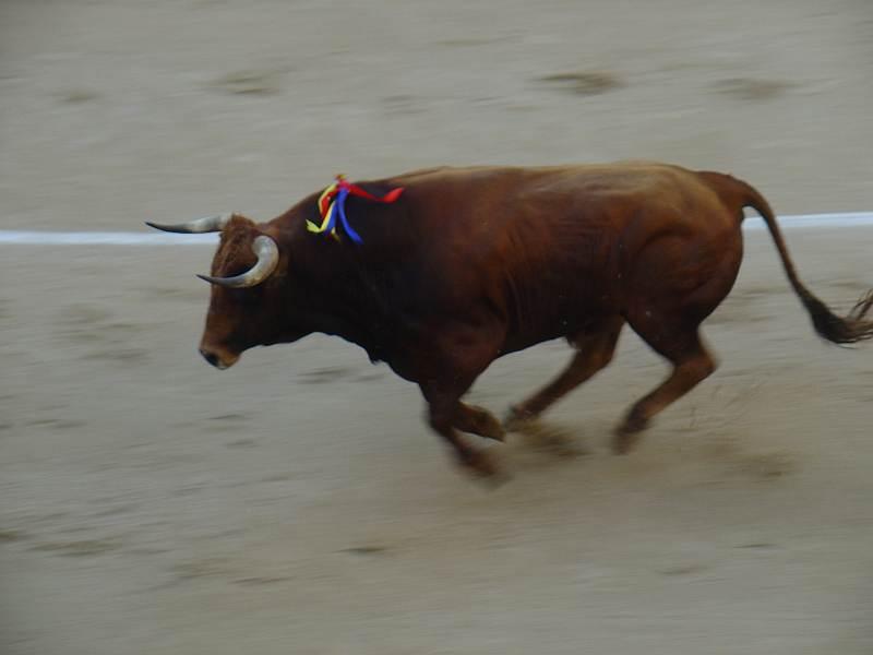 toro castaño Verdulero ganaderia Guadaira encaste Domecq plaza Ventas Madrid 26/07/2009