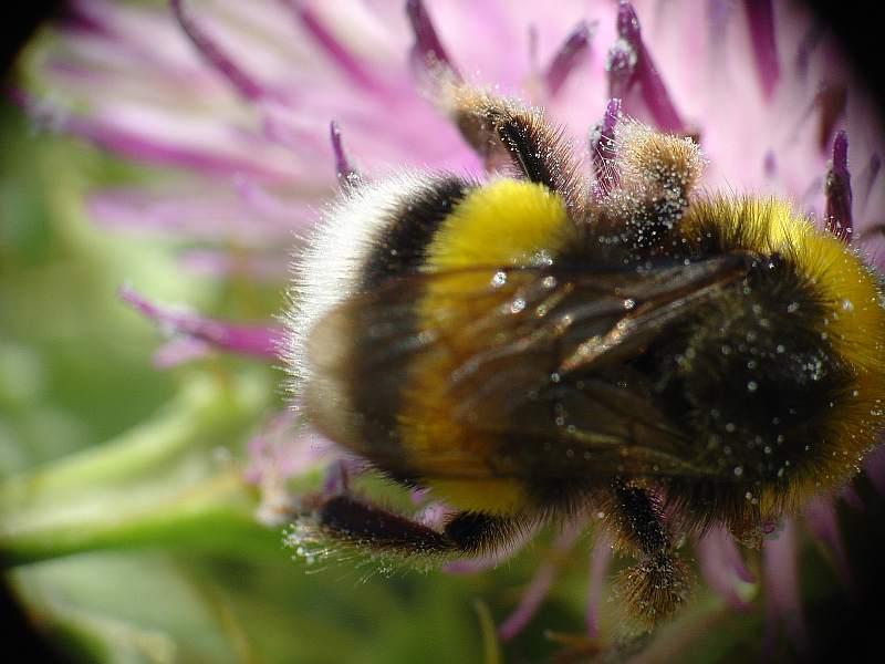 Bombus terrestris, abejorro, necesario en los invernaderos pa bambolear la planta del tomate cuando la poliniza