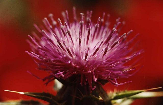 Flor de cardo mariano, Silybum marianum, al fondo amapolas, Papaver rhoeas