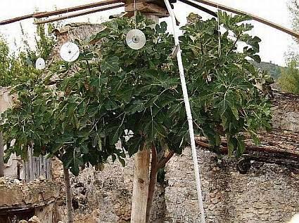 Ficus carica, higuera