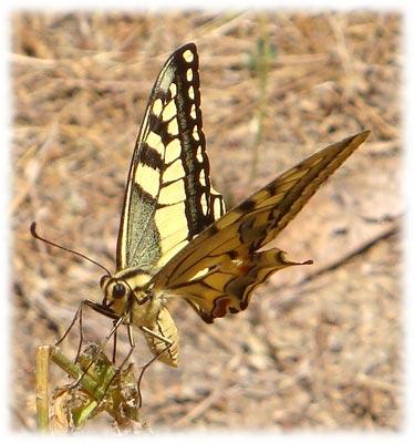 Papilio machaon mariposa