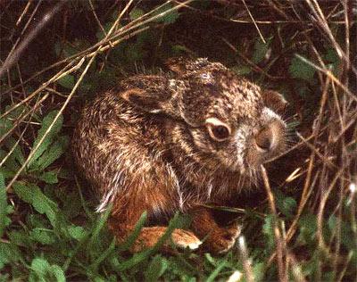 Lepus capensis, liebre