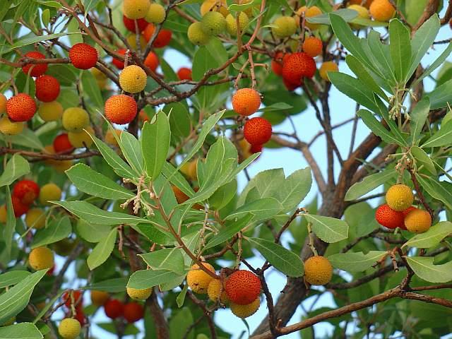 Arbustus unedo, madroño