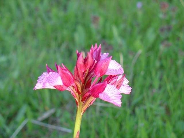 Orchis papilionacea, orquidia
