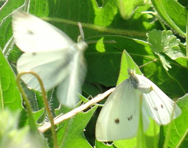 Pieris brassicae, mariposa blanca de la col