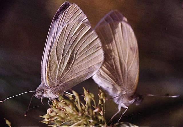 Pieris brassicae, mariposa blanca de la col apareadas