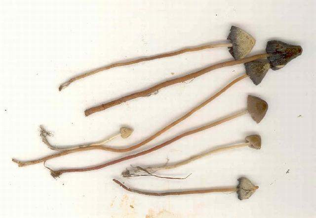 Psilocybe semilanceata